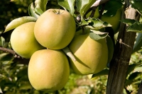 mutzu-jablka
