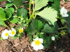 kvetouci-jahody